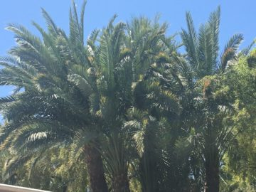 Palm Tree Trimming and Removal in Las Vegas